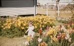 "<span class=""caption-caption"">Bowling Club flowers, Barcaldine</span>, 1963. <br />Slide, collection of <span class=""caption-contributor"">Gladys Hartland</span>."