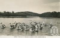 "<span class=""caption-caption"">Pelicans, Maroochy River</span>, c1938. <br />Postcard by <span class=""caption-publisher"">Murray Views Pty Ltd</span>, collection of <span class=""caption-contributor"">Centre for the Government of Queensland</span>."