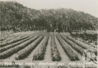 "<span class=""caption-caption"">Pineapple farm, Magnetic Island</span>, c1935. <br />Postcard folder by <span class=""caption-publisher"">Willmetts</span>, collection of <span class=""caption-contributor"">Centre for the Government of Queensland</span>."