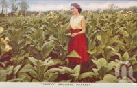 "<span class=""caption-caption"">Tobacco growing, Mareeba</span>, c1961. <br />Postcard folder by <span class=""caption-publisher"">GK Bolton</span>, collection of <span class=""caption-contributor"">John Young</span>."