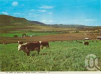 """<span class=""""caption-caption"""">Fat cattle on pastures, Darling Downs, Toowoomba</span>, c1965. <br />Postcard folder by <span class=""""caption-publisher"""">Murray Views Pty Ltd</span>, collection of <span class=""""caption-contributor"""">Centre for the Government of Queensland</span>."""