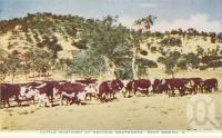 "<span class=""caption-caption"">Cattle mustered at Merinda meatworks, near Bowen</span>, c1955. <br />Postcard folder by <span class=""caption-publisher"">Sydney G Hughes Pty Ltd</span>, collection of <span class=""caption-contributor"">Centre for the Government of Queensland MS</span>."