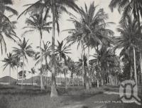 "<span class=""caption-caption"">Cocoa-nut palms, Seaforth</span>. <br />From <span class=""caption-book"">Picturesque Mackay and Whitsunday Passage</span>, <span class=""caption-publisher"">Thomas Tennant</span>, 1930s, collection of <span class=""caption-contributor"">Fryer Library, UQ</span>."