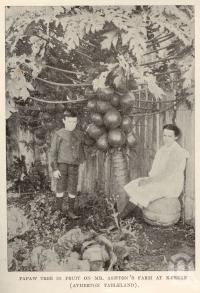 "<span class=""caption-caption"">Papaw tree in fruit on farm at Kureen (Atherton Tableland)</span>. <br />From <span class=""caption-book"">Tablelands of North Queensland</span>, <span class=""caption-publisher"">Queensland Government Intelligence and Tourist Bureau</span>, 1918, collection of <span class=""caption-contributor"">Fryer Library, UQ</span>."