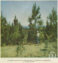 "<span class=""caption-caption"">Pine at Peachester is inspected by an APM forester</span>, 1958. <br />Booklet, collection of <span class=""caption-contributor"">John Young</span>."
