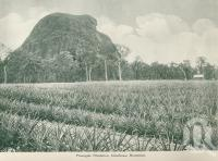 "<span class=""caption-caption"">Pineapple plantation, Glass House Mountains</span>, c1925. <br />Booklet, collection of <span class=""caption-contributor"">John Young</span>."