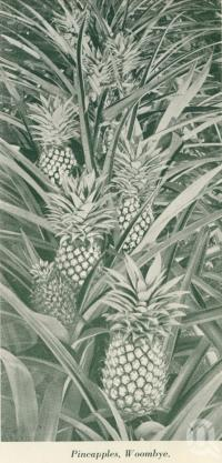 "<span class=""caption-caption"">Pineapples, Woombye</span>, c1925. <br />Booklet, collection of <span class=""caption-contributor"">John Young</span>."
