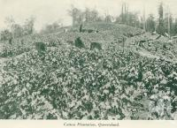 """<span class=""""caption-caption"""">Cotton plantation, Queensland</span>, c1925. <br />Booklet, collection of <span class=""""caption-contributor"""">John Young</span>."""