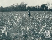 "<span class=""caption-caption"">Cotton plantation, Wowan, Dawson Valley</span>. <br />From <span class=""caption-book"">Queensland The Jewel of Australia</span>, <span class=""caption-publisher"">Sydney G Hughes</span>, Brisbane, c1933, collection of <span class=""caption-contributor"">Centre for the Government of Queensland</span>."