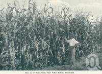 """<span class=""""caption-caption"""">Close up of maize, Imbil, Mary Valley District</span>. <br />From <span class=""""caption-book"""">Queensland The Jewel of Australia</span>, <span class=""""caption-publisher"""">Sydney G Hughes</span>, Brisbane, c1933, collection of <span class=""""caption-contributor"""">Centre for the Government of Queensland</span>."""