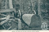 "<span class=""caption-caption"">Hauling a fine walnut log in the heart of the forest, Atherton Tableland</span>. <br />From <span class=""caption-book"">Queensland The Jewel of Australia</span>, <span class=""caption-publisher"">Sydney G Hughes</span>, Brisbane, c1933, collection of <span class=""caption-contributor"">Centre for the Government of Queensland</span>."