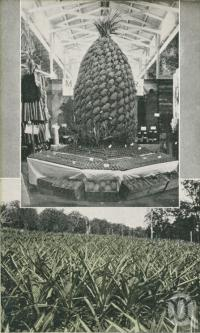 "<span class=""caption-caption"">Pineapple Trophy (Brisbane Show) and Pineapple Farm Woombye</span>. <br />From <span class=""caption-book"">Glimpses of Sunny Queensland (2nd edition)</span>, <span class=""caption-creator"">Queensland Government Intelligence and Tourist Bureau</span>, Brisbane, 1912, collection of <span class=""caption-contributor"">Centre for the Government of Queensland</span>."