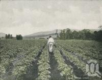 "<span class=""caption-caption"">Hilling potatoes, Laidley</span>. <br />From <span class=""caption-book"">Glimpses of Sunny Queensland (2nd edition)</span>, <span class=""caption-creator"">Queensland Government Intelligence and Tourist Bureau</span>, Brisbane, 1912, collection of <span class=""caption-contributor"">Centre for the Government of Queensland</span>."