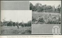 """<span class=""""caption-caption"""">Typical scenes on Blackall Range, citrus orchard, pineapple plantation</span>. <br />From <span class=""""caption-book"""">Glimpses of Sunny Queensland (3rd edition)</span>, <span class=""""caption-creator"""">Queensland Government Intelligence and Tourist Bureau</span>, Brisbane, 1914, collection of <span class=""""caption-contributor"""">Centre for the Government of Queensland</span>."""