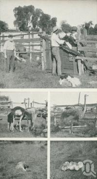 "<span class=""caption-caption"">Ostrich farming, Garfield Station, Jericho</span>. <br />From <span class=""caption-book"">Glimpses of Sunny Queensland (3rd edition)</span>, <span class=""caption-creator"">Queensland Government Intelligence and Tourist Bureau</span>, Brisbane, 1914, collection of <span class=""caption-contributor"">Centre for the Government of Queensland</span>."