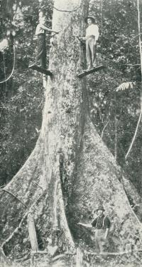 "<span class=""caption-caption"">Falling crow's foot elm, Atherton District</span>. <br />From <span class=""caption-book"">Glimpses of Sunny Queensland (3rd edition)</span>, <span class=""caption-creator"">Queensland Government Intelligence and Tourist Bureau</span>, Brisbane, 1914, collection of <span class=""caption-contributor"">Centre for the Government of Queensland</span>."