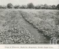 "<span class=""caption-caption"">Crop of peanuts, Buderim Mountain</span>. <br />From <span class=""caption-book"">The Pocket Queensland</span>, <span class=""caption-creator"">Queensland Government Intelligence and Tourist Bureau</span>, Brisbane, 1921, collection of <span class=""caption-contributor"">Centre for the Government of Queensland</span>."