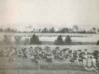 """<span class=""""caption-caption"""">Beef Cattle (mostly Herefords) on Coochin Coochin Station, Dugandan</span>. <br />From <span class=""""caption-book"""">The Pocket Queensland</span>, <span class=""""caption-creator"""">Queensland Government Intelligence and Tourist Bureau</span>, Brisbane, 1921, collection of <span class=""""caption-contributor"""">Centre for the Government of Queensland</span>."""