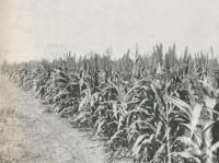 """<span class=""""caption-caption"""">Crop of corn at Biggenden, Burnett District</span>. <br />From <span class=""""caption-book"""">The Pocket Queensland</span>, <span class=""""caption-creator"""">Queensland Government Intelligence and Tourist Bureau</span>, Brisbane, 1921, collection of <span class=""""caption-contributor"""">Centre for the Government of Queensland</span>."""
