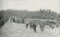 "<span class=""caption-caption"">Cowley's Orchard at Ballandean, Stanthorpe District</span>. <br />From <span class=""caption-book"">The Pocket Queensland</span>, <span class=""caption-creator"">Queensland Government Intelligence and Tourist Bureau</span>, Brisbane, 1921, collection of <span class=""caption-contributor"">Centre for the Government of Queensland</span>."