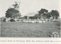 "<span class=""caption-caption"">Angora goats at Woolooga, Wide Bay District</span>. <br />From <span class=""caption-book"">The Pocket Queensland</span>, <span class=""caption-creator"">Queensland Government Intelligence and Tourist Bureau</span>, Brisbane, 1921, collection of <span class=""caption-contributor"">Centre for the Government of Queensland</span>."