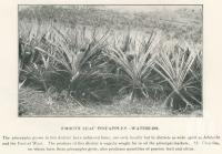 "<span class=""caption-caption"">Smooth leaf pineapples, Waterloo</span>. <br />From <span class=""caption-book"">The Burnett and Isis Pictorial</span>, <span class=""caption-creator"">Richards & Kingdon</span>, Bundaberg, 1927, collection of <span class=""caption-contributor"">Centre for the Government of Queensland</span>."