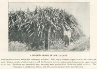 """<span class=""""caption-caption"""">A Bingera block of NG 16 cane</span>. <br />From <span class=""""caption-book"""">The Burnett and Isis Pictorial</span>, <span class=""""caption-creator"""">Richards & Kingdon</span>, Bundaberg, 1927, collection of <span class=""""caption-contributor"""">Centre for the Government of Queensland</span>."""