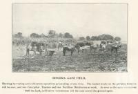 """<span class=""""caption-caption"""">Bingera cane field</span>. <br />From <span class=""""caption-book"""">The Burnett and Isis Pictorial</span>, <span class=""""caption-creator"""">Richards & Kingdon</span>, Bundaberg, 1927, collection of <span class=""""caption-contributor"""">Centre for the Government of Queensland</span>."""