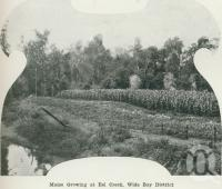"<span class=""caption-caption"">Maize growing at Eel Creek, Wide Bay District</span>. <br />From <span class=""caption-book"">Australia Unlimited</span>, <span class=""caption-creator"">Edwin J Brady</span>, <span class=""caption-publisher"">George Robertson & Co</span>, Melbourne, 1918, collection of <span class=""caption-contributor"">Centre for the Government of Queensland</span>."