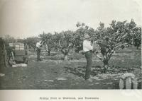 "<span class=""caption-caption"">Picking fruit at Westbrook</span>. <br />From <span class=""caption-book"">Australia Unlimited</span>, <span class=""caption-creator"">Edwin J Brady</span>, <span class=""caption-publisher"">George Robertson & Co</span>, Melbourne, 1918, collection of <span class=""caption-contributor"">Centre for the Government of Queensland</span>."