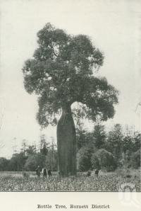 """<span class=""""caption-caption"""">Bottle tree, Burnett District</span>. <br />From <span class=""""caption-book"""">Australia Unlimited</span>, <span class=""""caption-creator"""">Edwin J Brady</span>, <span class=""""caption-publisher"""">George Robertson & Co</span>, Melbourne, 1918, collection of <span class=""""caption-contributor"""">Centre for the Government of Queensland</span>."""