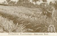 "<span class=""caption-caption"">Pineapple plantation Redland Bay</span>. <br />From <span class=""caption-book"">Brisbane Short Tours</span>, <span class=""caption-creator"">Queensland Government Tourist Bureau</span>, Brisbane, c1936, collection of <span class=""caption-contributor"">Centre for the Government of Queensland</span>."