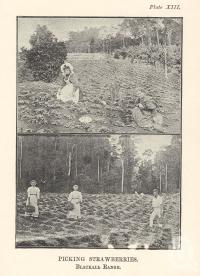 "<span class=""caption-caption"">Picking strawberries, Blackall Range</span>. <br />From <span class=""caption-book"">Queensland Agricultural Journal</span>, 1898, collection of <span class=""caption-contributor"">Fryer Library, UQ</span>."