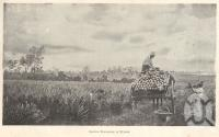 "<span class=""caption-caption"">Carting pineapples at Nudgee</span>. <br />From <span class=""caption-book"">Queensland Agricultural Journal</span>, 1901, collection of <span class=""caption-contributor"">Fryer Library, UQ</span>."