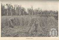 "<span class=""caption-caption"">Harvesting rice, Pimpama</span>. <br />From <span class=""caption-book"">Queensland Agricultural Journal</span>, 1901, collection of <span class=""caption-contributor"">Fryer Library, UQ</span>."