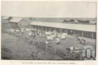 "<span class=""caption-caption"">The dairy herd and milking sheds, HM Penal Establishment, St Helena.</span>. <br />From <span class=""caption-book"">Queensland Agricultural Journal</span>, 1905, collection of <span class=""caption-contributor"">Fryer Library, UQ</span>."