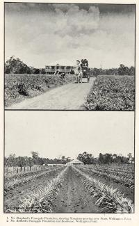"<span class=""caption-caption"">Pineapple plantations and residence, Wellington Point</span>. <br />From <span class=""caption-book"">Queensland Agricultural Journal</span>, 1906, collection of <span class=""caption-contributor"">Fryer Library, UQ</span>."