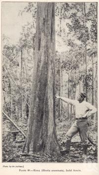 """<span class=""""caption-caption"""">Koda, Imbil Scrub</span>. <br />From <span class=""""caption-book"""">Queensland Agricultural Journal</span>, 1921, collection of <span class=""""caption-contributor"""">Fryer Library, UQ</span>."""