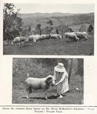 "<span class=""caption-caption"">Dorset horn sheep on Mr Hugh McMartin's property, 'Glen Pullen',  Pullenvale</span>. <br />From <span class=""caption-book"">Queensland Agricultural Journal</span>, 1922, collection of <span class=""caption-contributor"">Fryer Library, UQ</span>."