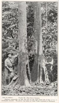 "<span class=""caption-caption"">The sour cherry Cedar Creek, westward of Eumundi</span>. <br />From <span class=""caption-book"">Queensland Agricultural Journal</span>, 1924, collection of <span class=""caption-contributor"">Fryer Library, UQ</span>."