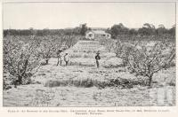 "<span class=""caption-caption"">An orchard in the Granite Belt, Thulimba</span>. <br />From <span class=""caption-book"">Queensland Agricultural Journal</span>, 1925, collection of <span class=""caption-contributor"">Fryer Library, UQ</span>."