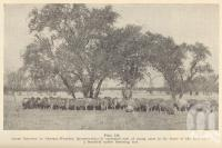"<span class=""caption-caption"">Sheep country in Central-Western Queensland</span>. <br />From <span class=""caption-book"">Queensland Agricultural Journal</span>, 1939, collection of <span class=""caption-contributor"">Fryer Library, UQ</span>."
