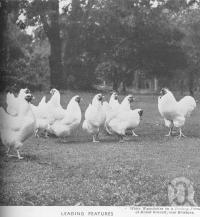 "<span class=""caption-caption"">White Wyandottes on a poultry farm at Mount Gravatt</span>. <br />From <span class=""caption-book"">Queensland Agricultural Journal</span>, 1941, collection of <span class=""caption-contributor"">Fryer Library, UQ</span>."