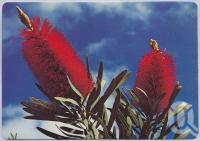 "<span class=""caption-caption"">Floral Emblem - Bottlebrush, Biloela</span>, c1970-2000. <br />Postcard, collection of <span class=""caption-contributor"">Murray Views Collection</span>."