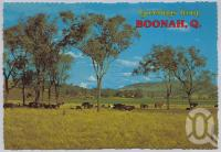 "<span class=""caption-caption"">Cattle, Boonah</span>, c1970-2000. <br />Postcard, collection of <span class=""caption-contributor"">Murray Views Collection</span>."