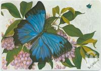 "<span class=""caption-caption"">Ulysses Butterfly on its host Evodia. Original painting by Betty Hinton at Floravilla</span>, c1970-2000. <br />Postcard, collection of <span class=""caption-contributor"">Murray Views Collection</span>."
