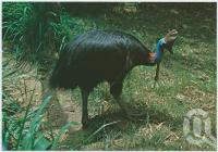 "<span class=""caption-caption"">The Australian Cassowary lives in the dense tropical rain forest of North Queensland</span>, c1970-2000. <br />Postcard, collection of <span class=""caption-contributor"">Murray Views Collection</span>."