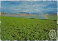 "<span class=""caption-caption"">Gatton is renowned for its irrigated farms with their fertile black soils and underground water supplies</span>, c1970-2000. <br />Postcard, collection of <span class=""caption-contributor"">Murray Views Collection</span>."