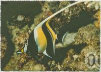 """<span class=""""caption-caption"""">Moorish Idol at Underwater Observatory, Hook Island, Whitsunday Passage</span>, c1970-2000. <br />Postcard, collection of <span class=""""caption-contributor"""">Murray Views Collection</span>."""
