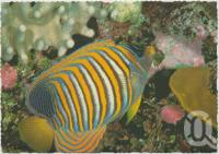 """<span class=""""caption-caption"""">Blue Banded Angel Fish at Underwater Observatory, Hook Island, Whitsunday Passage</span>, c1970-2000. <br />Postcard, collection of <span class=""""caption-contributor"""">Murray Views Collection</span>."""